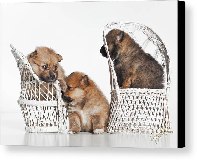 Puppies Canvas Print featuring the photograph Pomeranian 3 by Everet Regal