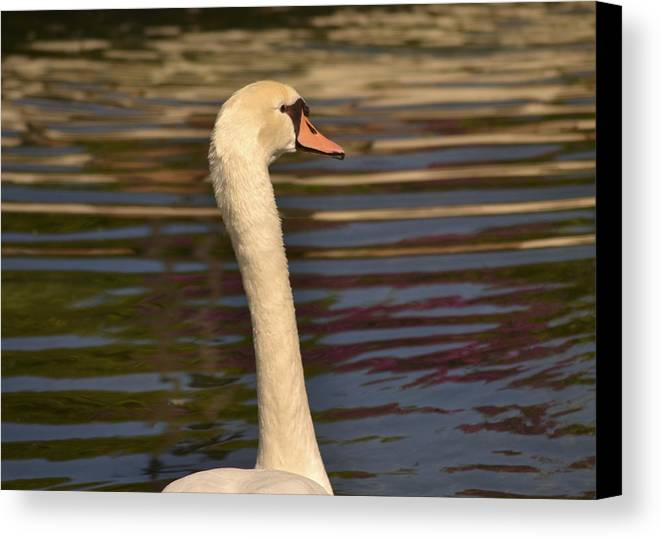 Swan Canvas Print featuring the photograph The Swim by Karen Rose Warner