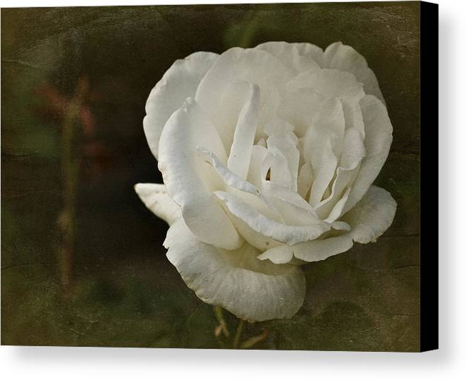 White Rose Canvas Print featuring the photograph Vintage White Rose by Richard Cummings
