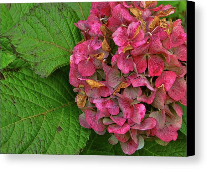 Hydrangea Canvas Print featuring the photograph Endless Summer by JAMART Photography