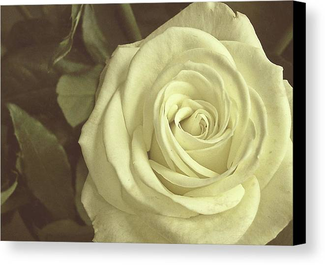 Rose Canvas Print featuring the photograph Timeless Rose by JAMART Photography