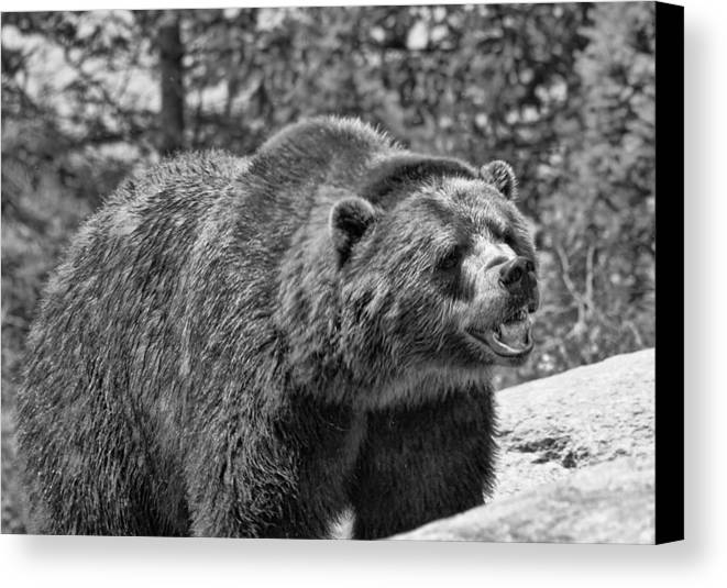 Angry Bear Black And White Canvas Print featuring the photograph Angry Bear Black And White by Dan Sproul