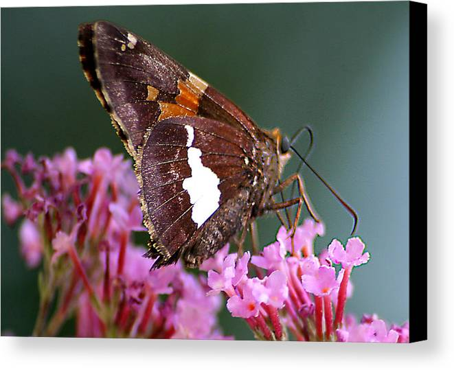 Canvas Print featuring the photograph Butterfly-licking by Curtis J Neeley Jr
