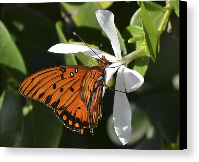 Butterfly Canvas Print featuring the photograph Butterfly On White by Karen Rose Warner