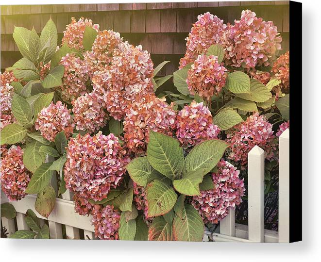 Garden Canvas Print featuring the photograph Chatham Mopheads by JAMART Photography
