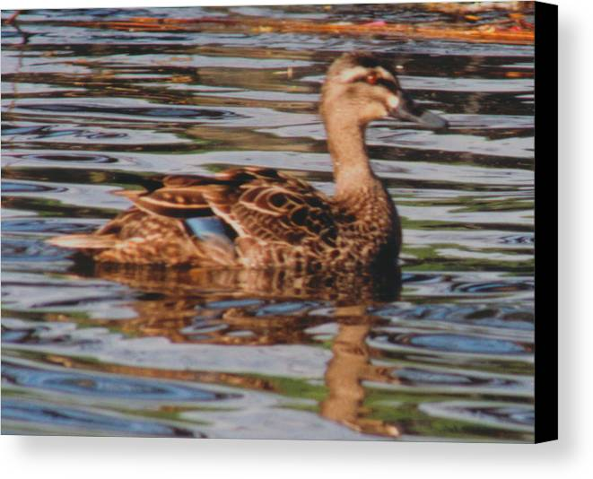 New Zealand Canvas Print featuring the photograph Christchurch New Zealand Grey Duck by Ron Swonger