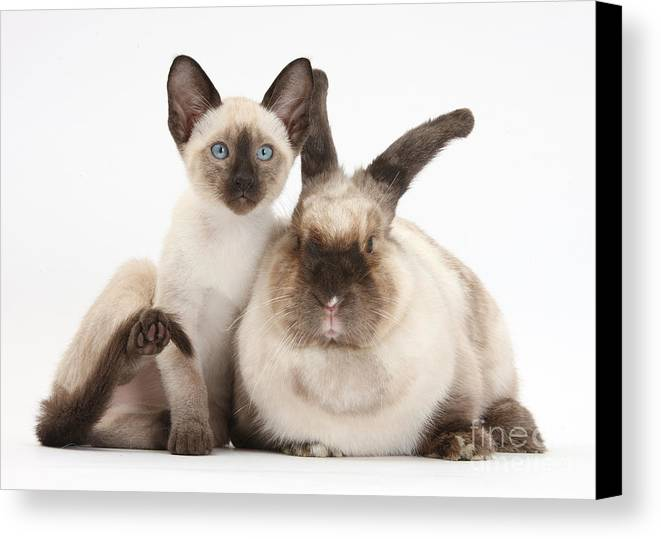 Nature Canvas Print featuring the photograph Colorpoint Rabbit And Siamese Kitten by Mark Taylor