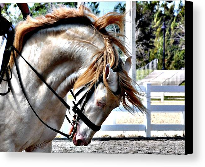 Horse Canvas Print featuring the photograph Cremello by Perry Correll