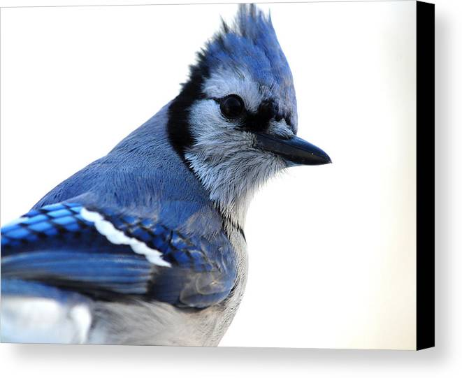 Jay Canvas Print featuring the photograph Cyanocitta Cristata by Mike Martin