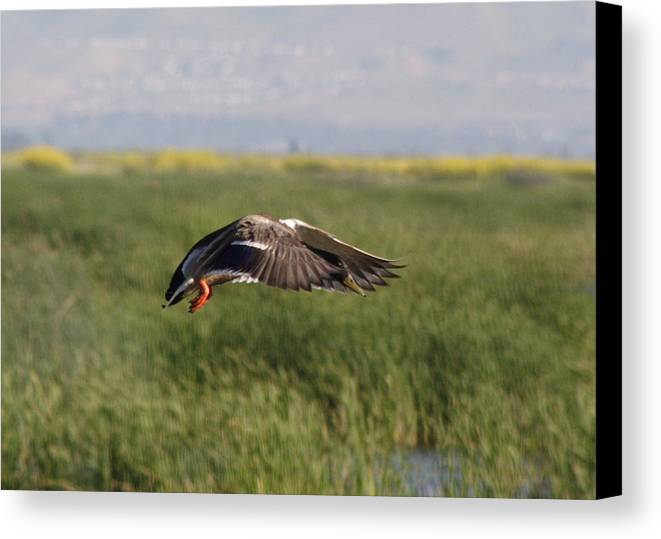 Water Canvas Print featuring the photograph Duck Landing by Jerry Patchin