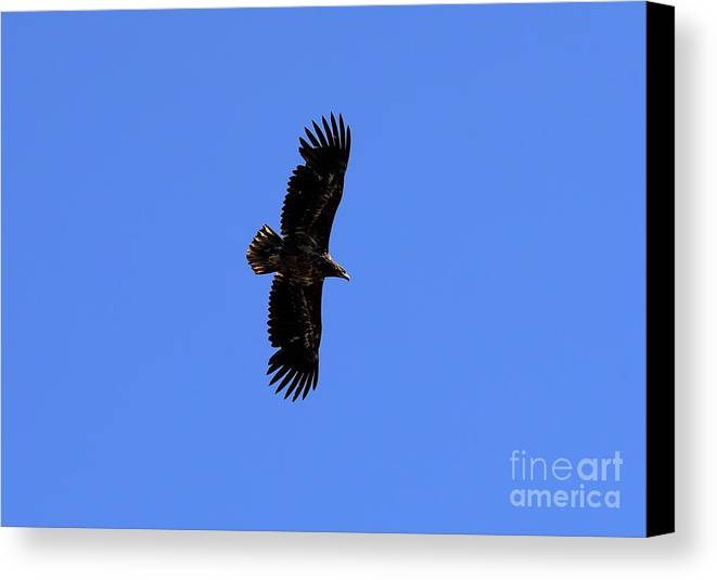 Eagle Canvas Print featuring the photograph Flying by Arild Lilleboe