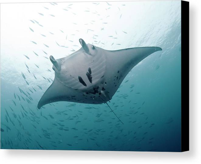 Horizontal Canvas Print featuring the photograph Graceful Manta by Wendy A. Capili