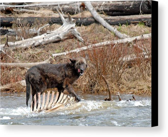 Gray Wolf Canvas Print featuring the photograph Gray Wolf With Elk Kill by Dennis Hammer