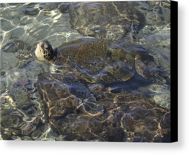 Sea Turtle Canvas Print featuring the photograph Gulp Of Air by Karen Rose Warner