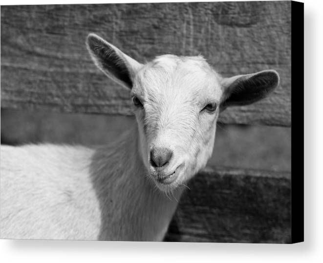 Goat Canvas Print featuring the photograph huh by Edward Myers