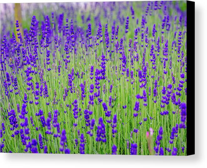 Lavender Canvas Print featuring the photograph Lavender by Rainer Kersten