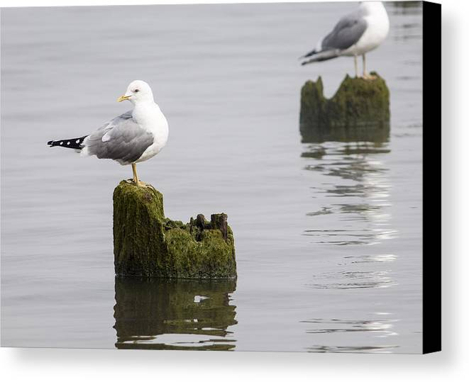 Animals Canvas Print featuring the photograph Mew Gull On A Piling by Robert Potts