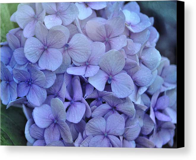 Cape Cod Canvas Print featuring the photograph Nikko Blue Petals by JAMART Photography