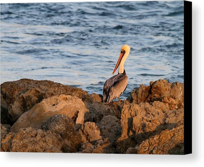 Pelican Canvas Print featuring the photograph Pelican On The Rocks by Sabrina L Ryan
