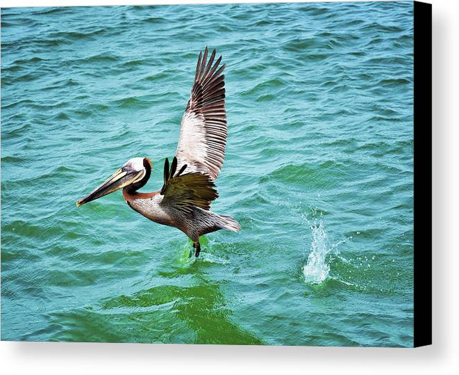 Pelican Taking Flight Canvas Print featuring the photograph Pelican Taking Flight by Steven Michael