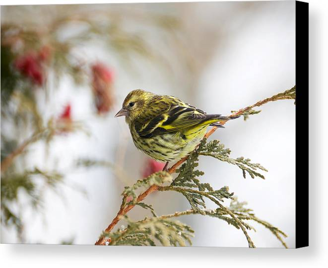 Animal Canvas Print featuring the photograph Pine Siskin. by Kelly Nelson