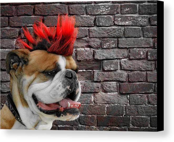 Bulldog Canvas Print featuring the photograph Punk Bully by Christine Till