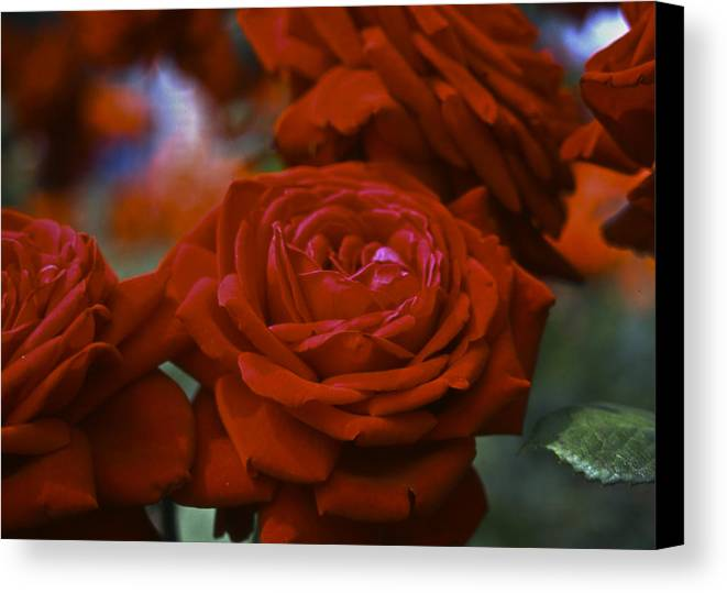 Roses Canvas Print featuring the photograph Rose by Wes Shinn