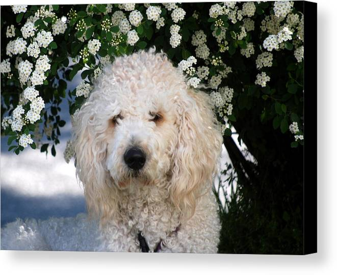Dog Canvas Print featuring the photograph Shaggy Doodle by Trudi Southerland