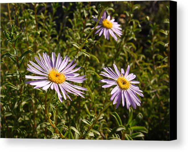 Australia Canvas Print featuring the photograph Shark Bay Daisy by Tony Brown