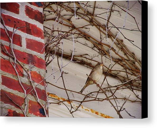 Sparrow Canvas Print featuring the photograph Sparrow by JAMART Photography