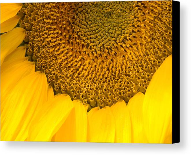 Sun Canvas Print featuring the photograph Sunflower by Charlie Hunt