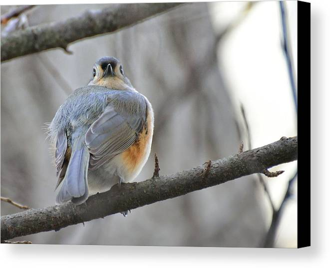 Canvas Print featuring the photograph Tufted Titmouse 02 by Robert Hayes