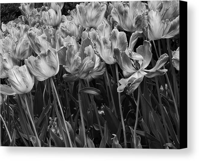 Tulips Canvas Print featuring the photograph Tulips In The Breeze by Abhi Ganju