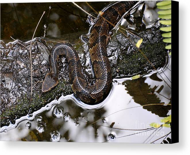 Water Moccasin Canvas Print featuring the photograph Water Moccasin by David Lee Thompson