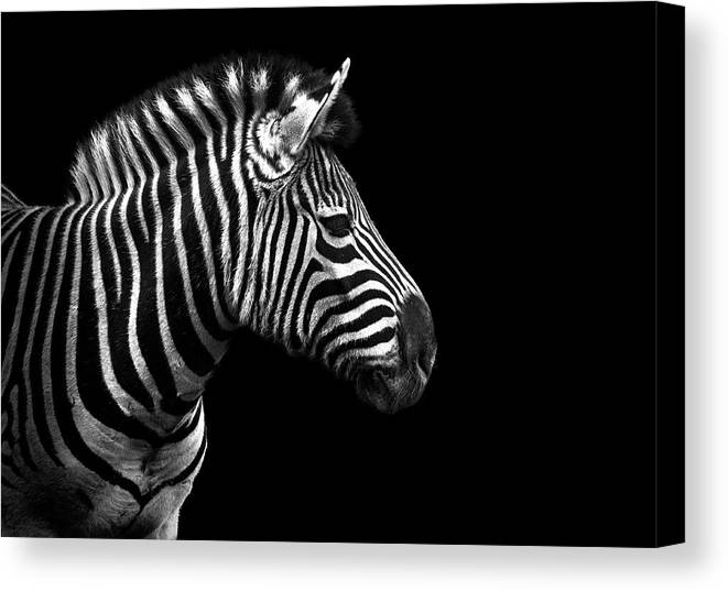 Horizontal Canvas Print featuring the photograph Zebra In Black And White by Malcolm MacGregor