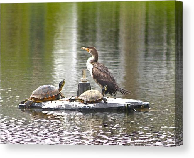 Cormorant Canvas Print featuring the photograph Cormorant And Turtle Duo by Jeanne Kay Juhos