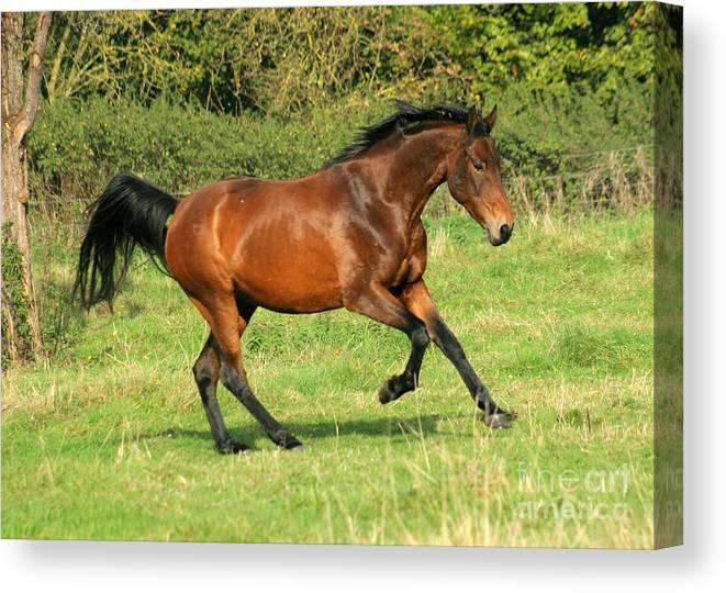 Horse Canvas Print featuring the photograph Run Run by Angel Ciesniarska