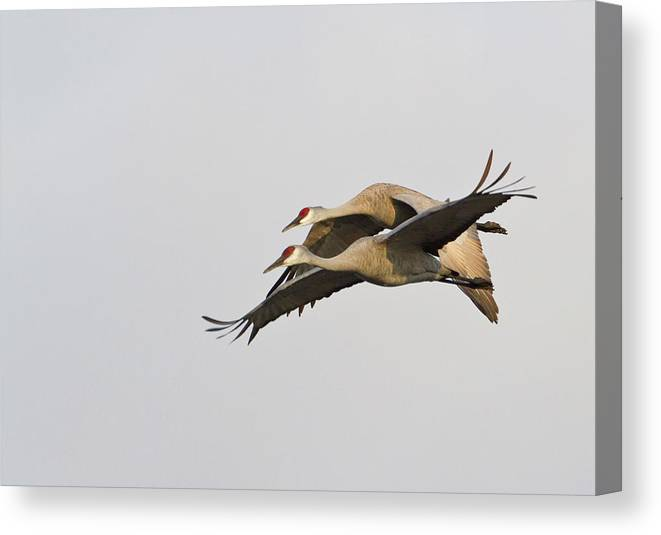 Avian Canvas Print featuring the photograph Sandhill Cranes (grus Canadensis by William Sutton