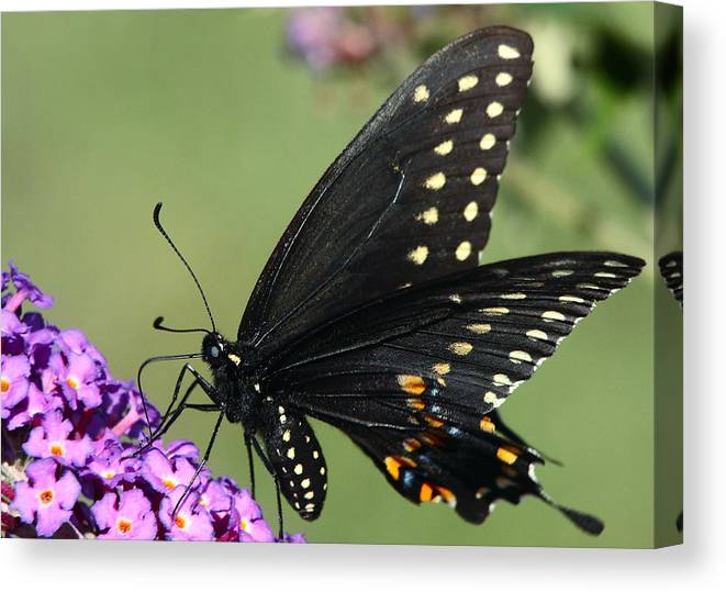 Black Swallowtail Canvas Print featuring the photograph Black Swallowtail by Theo