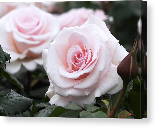 Roses Canvas Print featuring the photograph Blush Pink Roses by Rona Black
