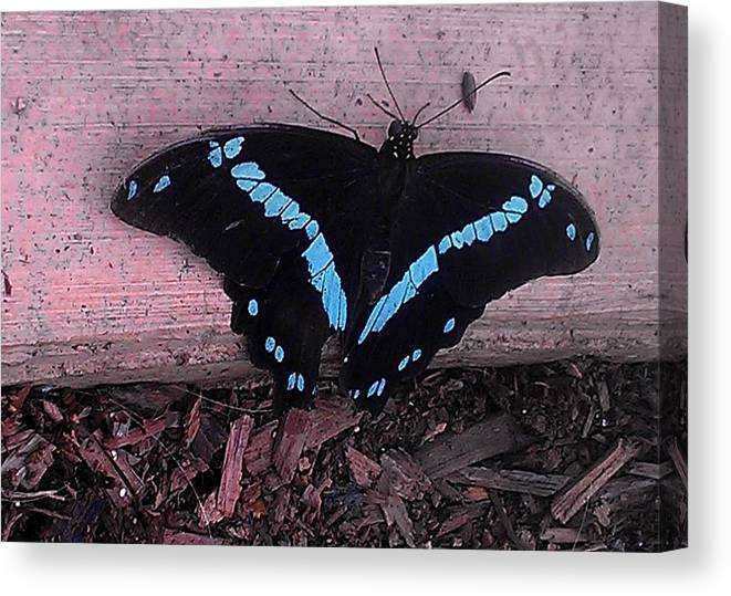 Black And Blue Butterfly Canvas Print featuring the photograph Butterfly 5 by Susan Hetrick