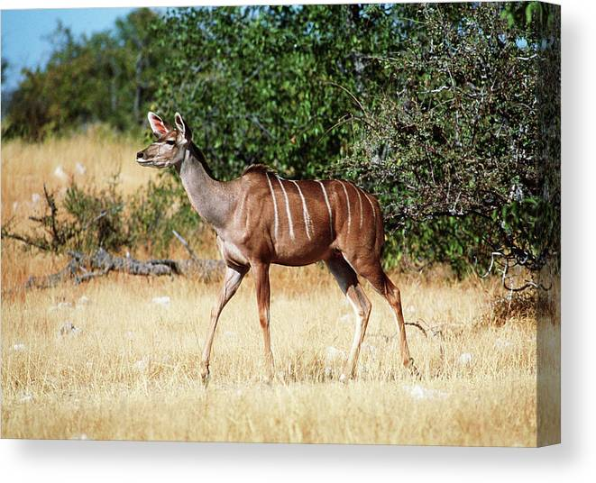 Kudu Canvas Print featuring the photograph Female Kudu by Tony Camacho/science Photo Library