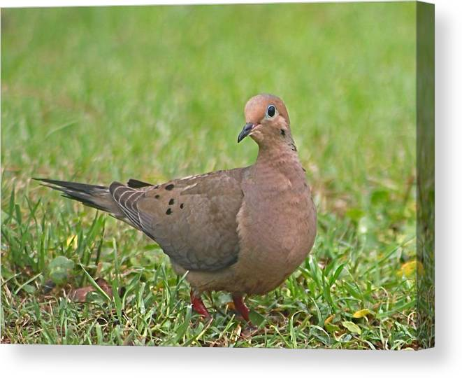 Mourning Dove Canvas Print featuring the photograph Mourning Dove by Jeanne Kay Juhos