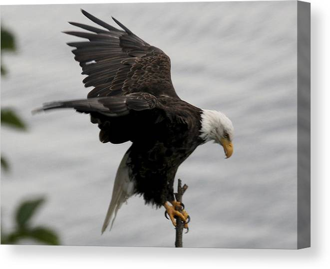 Eagle Canvas Print featuring the photograph Pacific Northwest Eagle by Mary Gaines