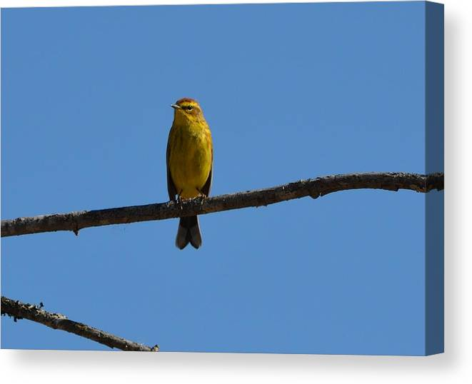 Palm Warbler Canvas Print featuring the photograph Palm Warbler by James Petersen