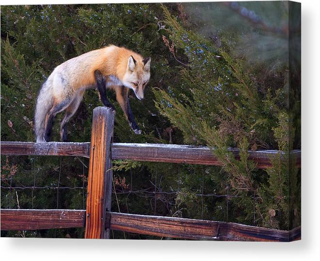 Foxfox On Fence Photograph Canvas Print featuring the photograph Traveling The Rails by Jim Garrison