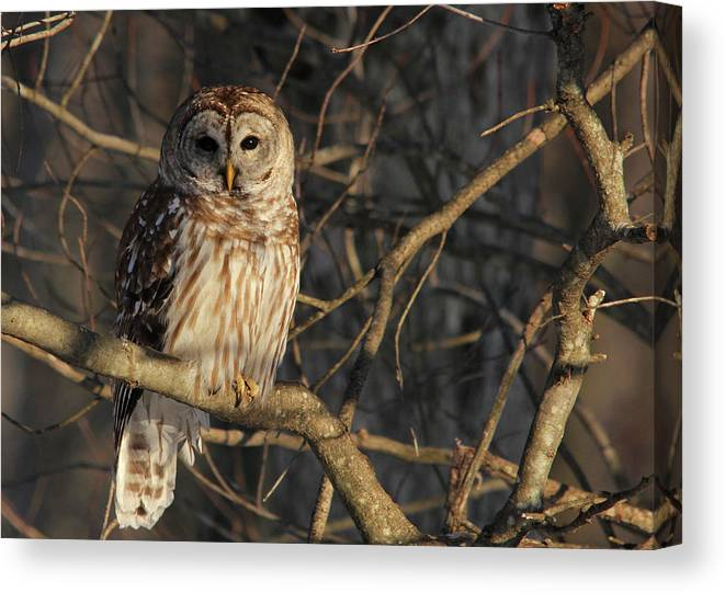 Barred Owl Canvas Print featuring the photograph Waiting For Supper by Lori Deiter