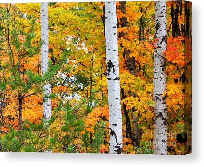 Autumn Canvas Print featuring the photograph White Birch Autumn by Craig Sterken