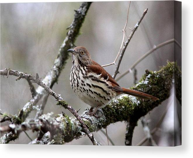 Spotted Bird Canvas Print featuring the photograph Brown Thrasher - Spot by Travis Truelove