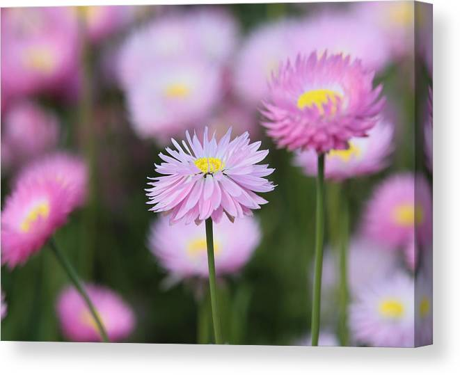 Everlasting Canvas Print featuring the photograph Everlastings by Tony Brown